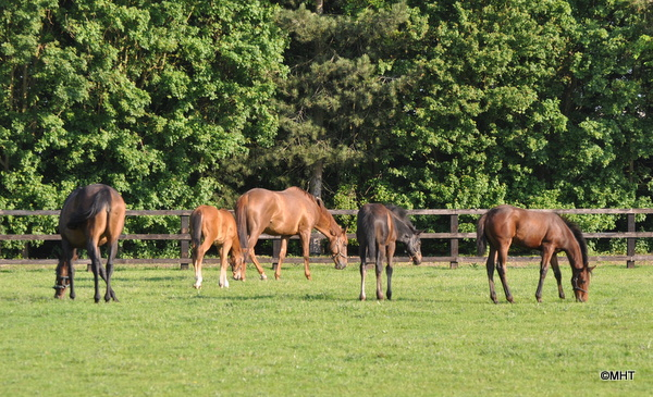 28_-_Mares_and_foals_at_Dullingham